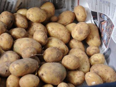 Kartoffelsorter - Hvilken passer dig
