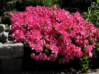 Rhododendron er en gave til haven