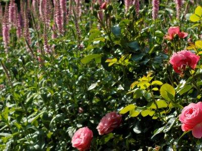 Rosenbedet står på spring