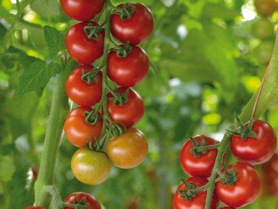 Oversigt over tomat-sorter